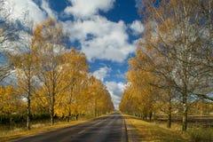 Carretera de asfalto en la avenida del abedul, opinión del otoño Paisaje n Imagenes de archivo