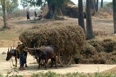 Carretti della Buffalo rimorchiati nel campo del Myanmar Fotografie Stock Libere da Diritti