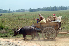 Carretti della Buffalo rimorchiati nel campo del Myanmar Immagini Stock