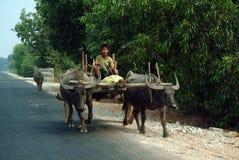 Carretti della Buffalo rimorchiati nel campo del Myanmar Fotografia Stock