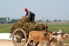 Carretti di Bullock rimorchiati nel campo del Myanmar Fotografia Stock Libera da Diritti