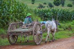 Carretto birmano del bue di guida dell'agricoltore Immagini Stock