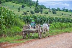 Carretto birmano del bue di guida dell'agricoltore Fotografia Stock