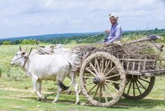 Carretto birmano del bue di guida dell'agricoltore Fotografie Stock Libere da Diritti