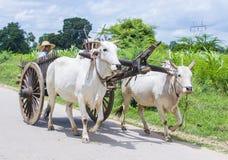 Carretto birmano del bue di guida dell'agricoltore Fotografia Stock Libera da Diritti