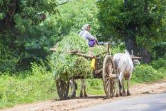 Carretto birmano del bue di guida dell'agricoltore Immagine Stock