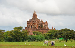 Carretto del bue che ara il solco in Bagan, Myanmar fotografie stock