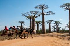 Carretto sui baobab del DES di Allée vicino a Morondava immagini stock
