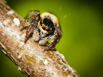 Carrhotus Xanthogramma jumping spider Royalty Free Stock Photos