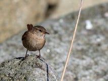 Carriça euro-asiática, trogloditas dos trogloditas Pássaro que senta-se em uma rocha em um dia ensolarado Imagem de Stock