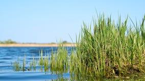 Carriço da grama na costa de um lago fotos de stock
