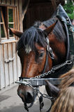 Carriage horse. A tired looking horse pulling a coach for tourists stock photo