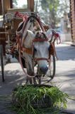 Carriage Horse Stock Photography