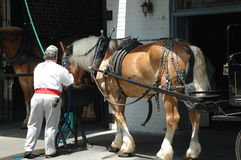 Carriage Horse Charleston. Carriage horse being fed by stevedore taken in Charleton Stock Images