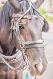 Carriage horse in harness close-up portrait. Close up portrait of a carriage horse in harness waiting on the street for tours Royalty Free Stock Photography