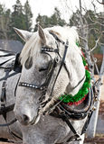Carriage Horse in Holiday Parade. A white carriage horse ready for a holiday parade royalty free stock photo