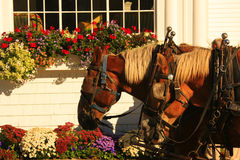 Carriage horses. On Mackinac Island Michigan with flowers and window in background Royalty Free Stock Image