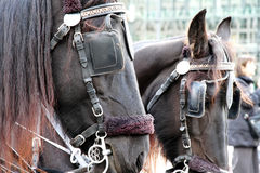Carriage Horses Royalty Free Stock Photo