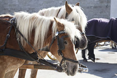Carriage horses stock images