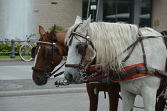 Carriage horses in Berlin, Germany for transporting tourists in the city Stock Photography