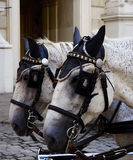 Carriage Horses Stock Image