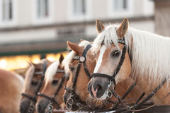 Carriage horses Royalty Free Stock Photos