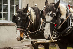 Carriage Horses Stock Photography