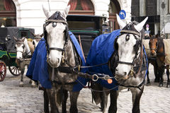 Carriage Horses in Vienna royalty free stock photography