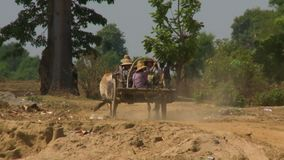 The carriage of oxen as a way of transport. A steady, medium shot of a carriage of oxen as a way of transport for people, on a dusty road surrounded by stock video footage