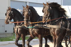 Carriage towed by three black horse Stock Image