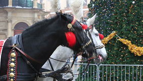 Carriage of white and black horses in festive harness, Krakow stock video footage