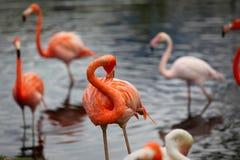 carribean flamingo Royaltyfri Fotografi