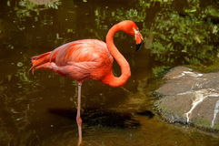 Carribean flamingo, South Africa Royalty Free Stock Images