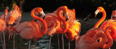Carribean flamingos over beautiful sunset royalty free stock image