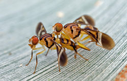 Carribean Fruit Fly Royalty Free Stock Image