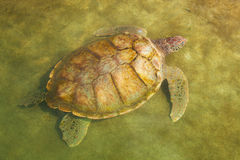 Carribean Sea Turtle Swimming Stock Photography