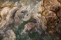 Carribean Sea Turtles Royalty Free Stock Images