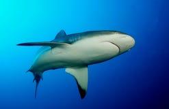 Carribian grey reef sharks Stock Photos