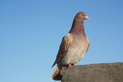 Carrier pigeon. A carrier pigeon or homing pigeon on the roof Royalty Free Stock Image