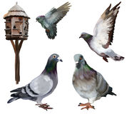 Carrier-pigeon Royalty Free Stock Photo
