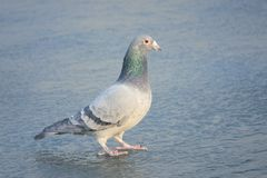 Carrier pigeon. The close-up of a carrier pigeon stands on ice stock photography