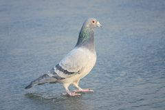 Carrier pigeon. The close-up of a carrier pigeon stands on ice stock photo