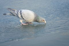 Carrier pigeon. A carrier pigeon dove drinks water on ice royalty free stock image