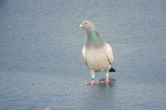 Carrier pigeon. A carrier pigeon dove stands on ice stock photo