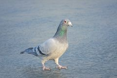 Carrier pigeon. A carrier pigeon dove stands on ice royalty free stock images