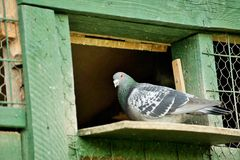 A carrier pigeon or messenger pigeon. Is a homing pigeon that was used to carry messages Stock Photos