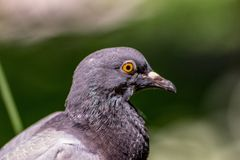 The carrier pigeon is a variety of the domestic pigeon Columba livia domestica derived from the eastern wild pigeon, genetically. Selected for its ability to royalty free stock photos