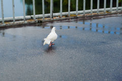 Carrier pigeon walk on bridge Stock Photography