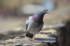 Carrier pigeon Royalty Free Stock Photo