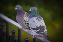Carrier pigeons. A pair carrier pigeons sitting on the banister Royalty Free Stock Photos